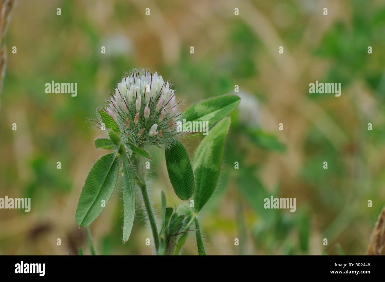 Diffuse clover - Diffused Trefoil (Trifolium diffusum) - flowering at spring - Vaucluse - Provence - France - Stock Image