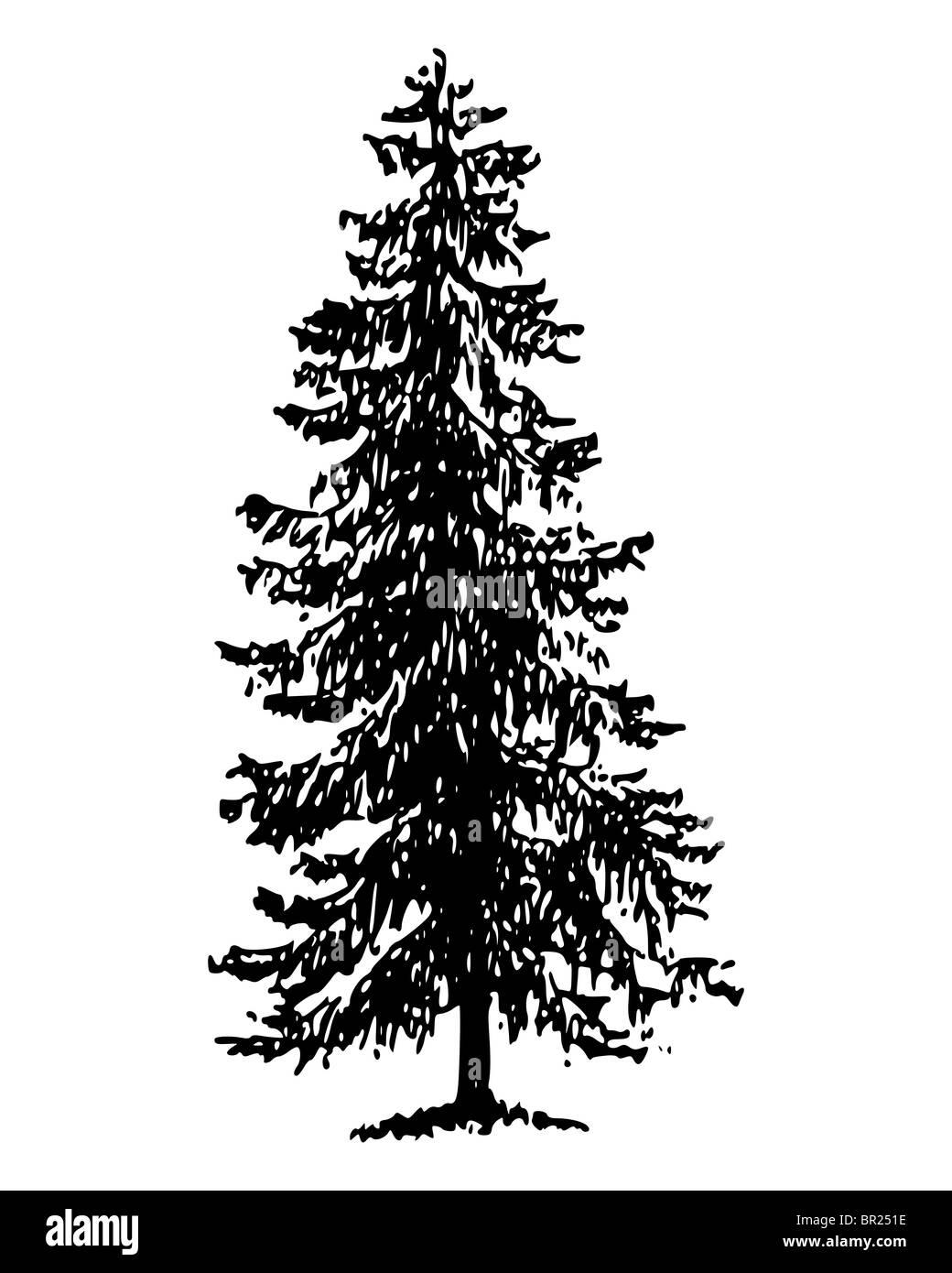Norway spruce - Stock Image
