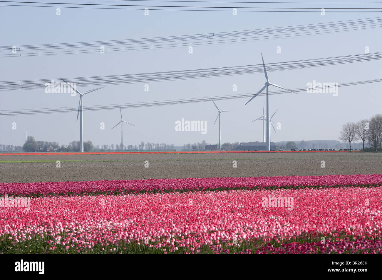Tulips and wind turbines in Delf, Netherlands. - Stock Image