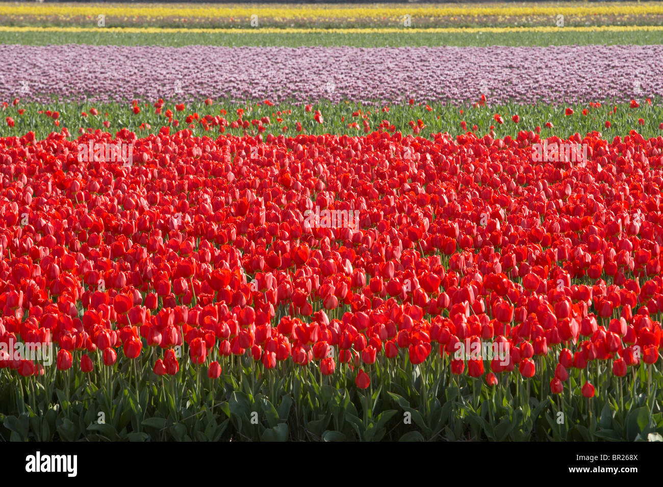 Red tulips in Delf, Netherlands. - Stock Image