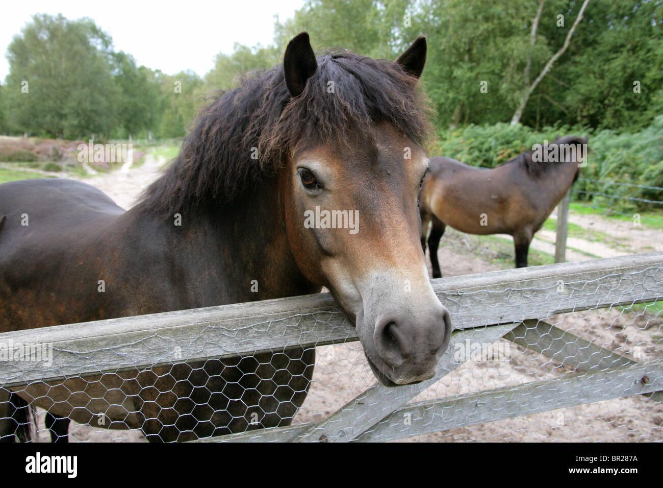Exmoor Ponies, Rammamere Heath SSSI, Bedfordshire. Rare, Endangered Breed of Horse, Equus ferus caballus, Equidae. - Stock Image
