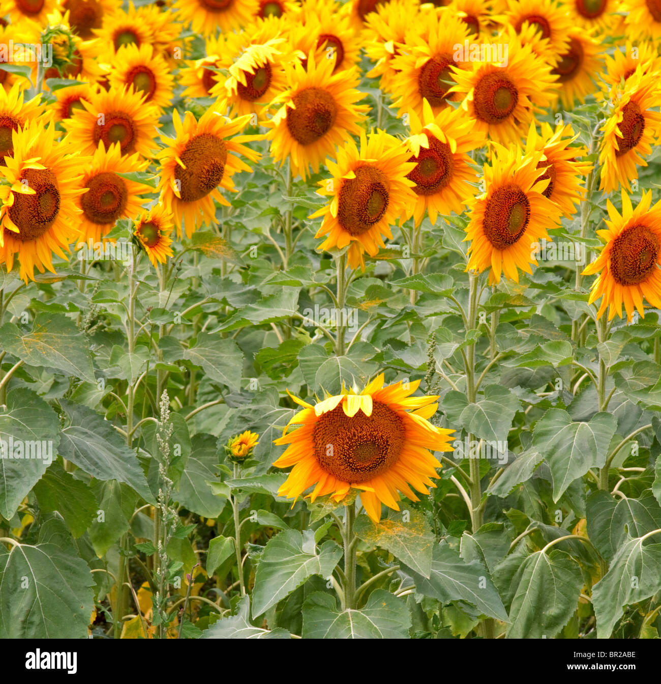 Sunflowers growing in a field in Prince Edward County, Ontario, Canada - Stock Image