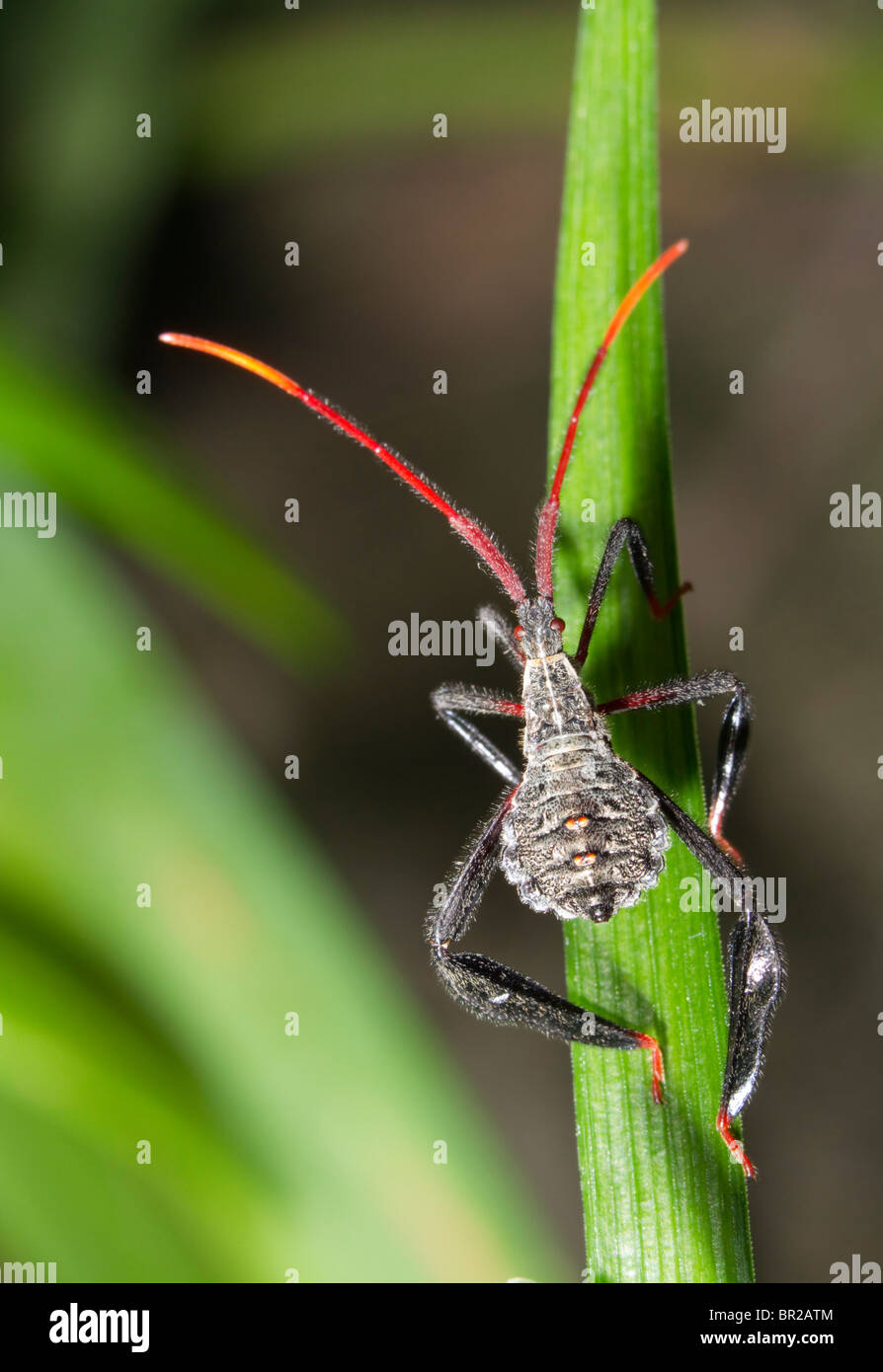 Adolescent nymph of a leaf-footed bug (Acanthocephala sp). Stock Photo