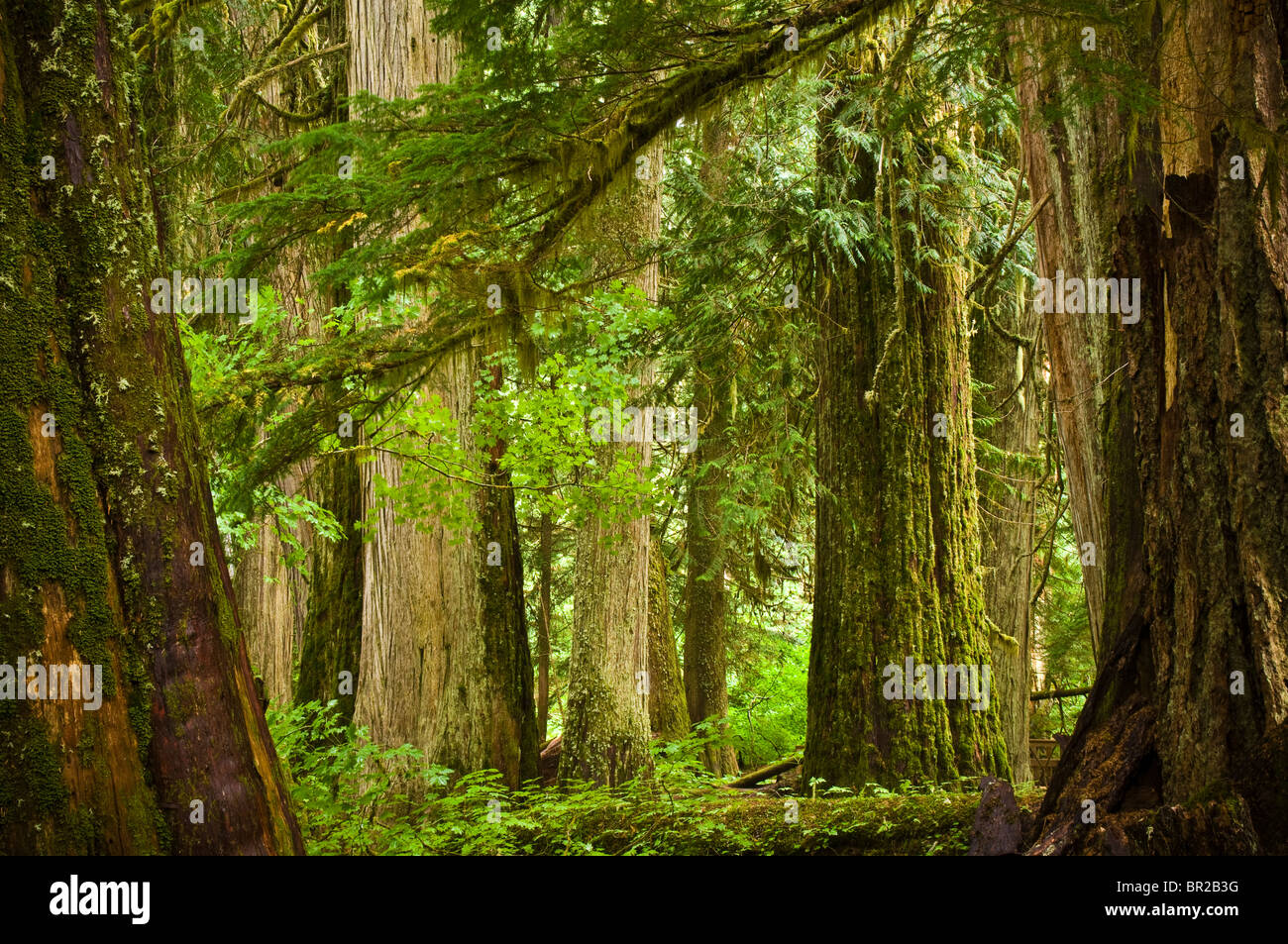 Grove of the Patriarchs Trail, Mount Rainier National Park, Washington. - Stock Image