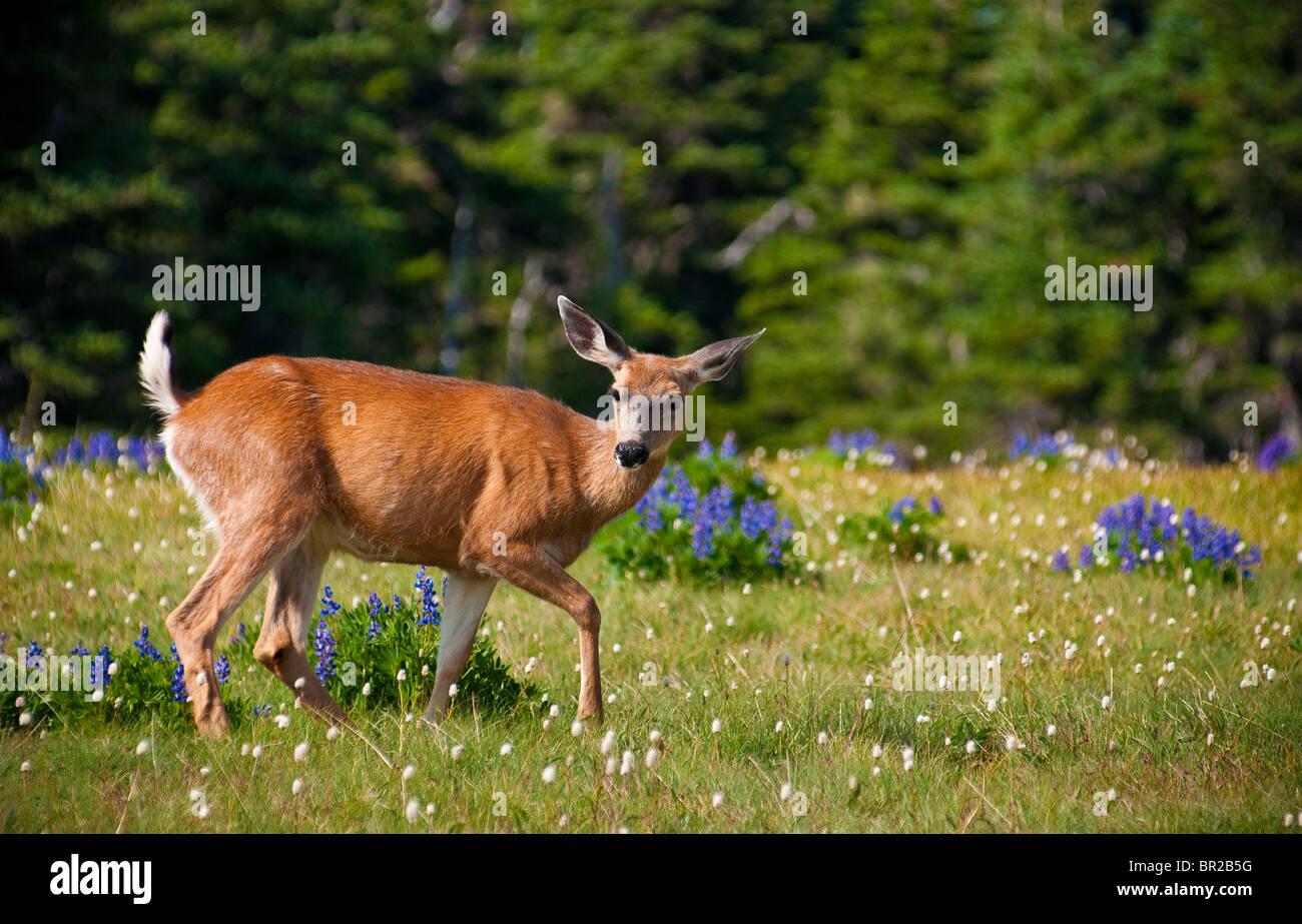 Black-tailed deer, Hurricane Ridge, Olympic National Park, Washington. - Stock Image