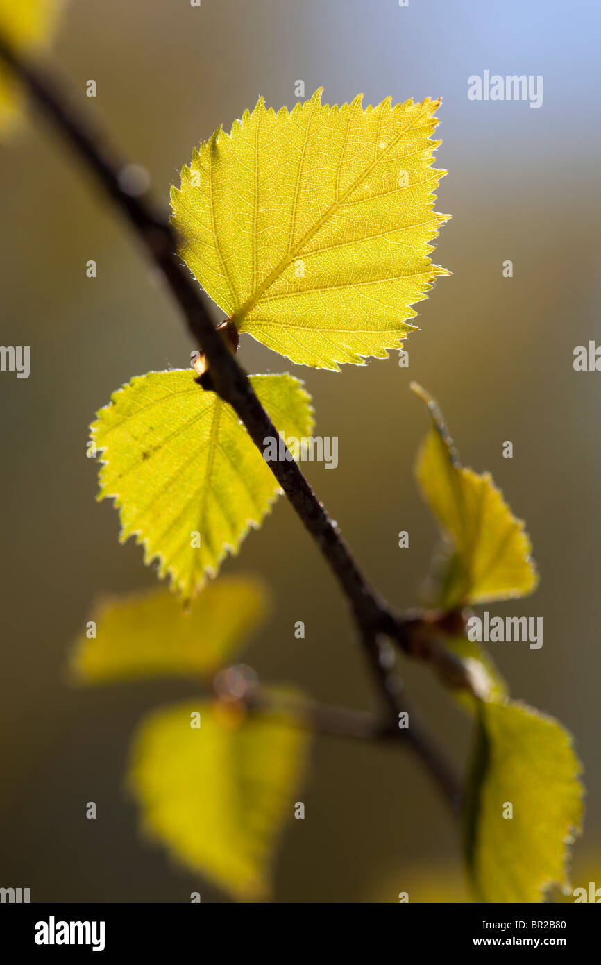 Birch ( betula pubescens ) tree branch with fresh new leaves at Spring - Stock Image