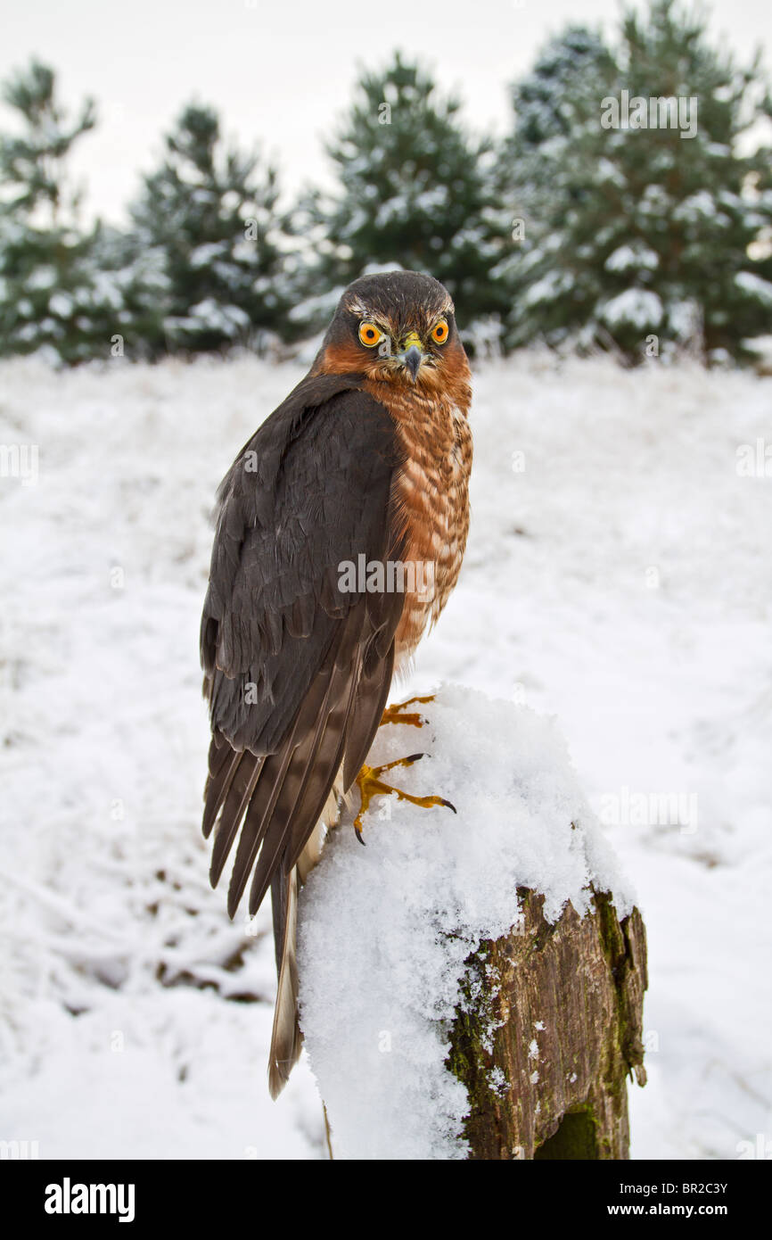 Sparrowhawk male ( Accipiter nisus ) on snowy fence post Stock Photo