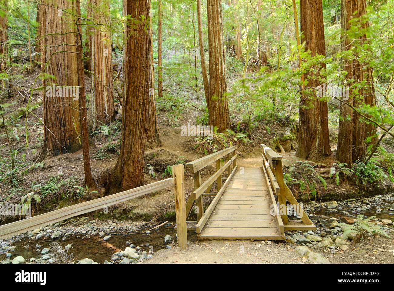 Redwood Forest of Muir Woods National Monument. - Stock Image