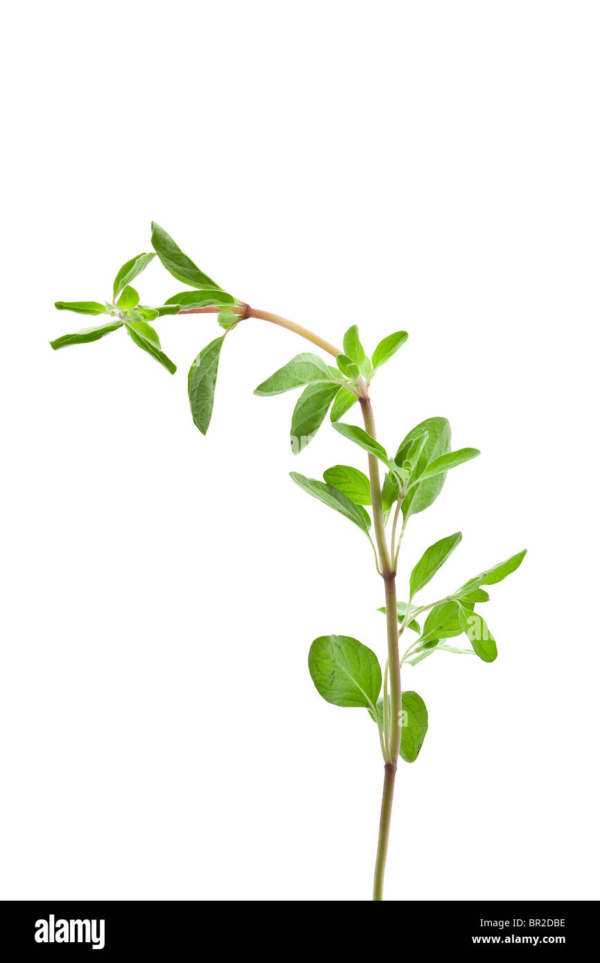 Fresh organic marjoram twig isolated on white background - Stock Image