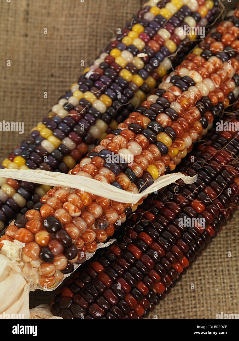 Closeup of Indian corn ears - Stock Image