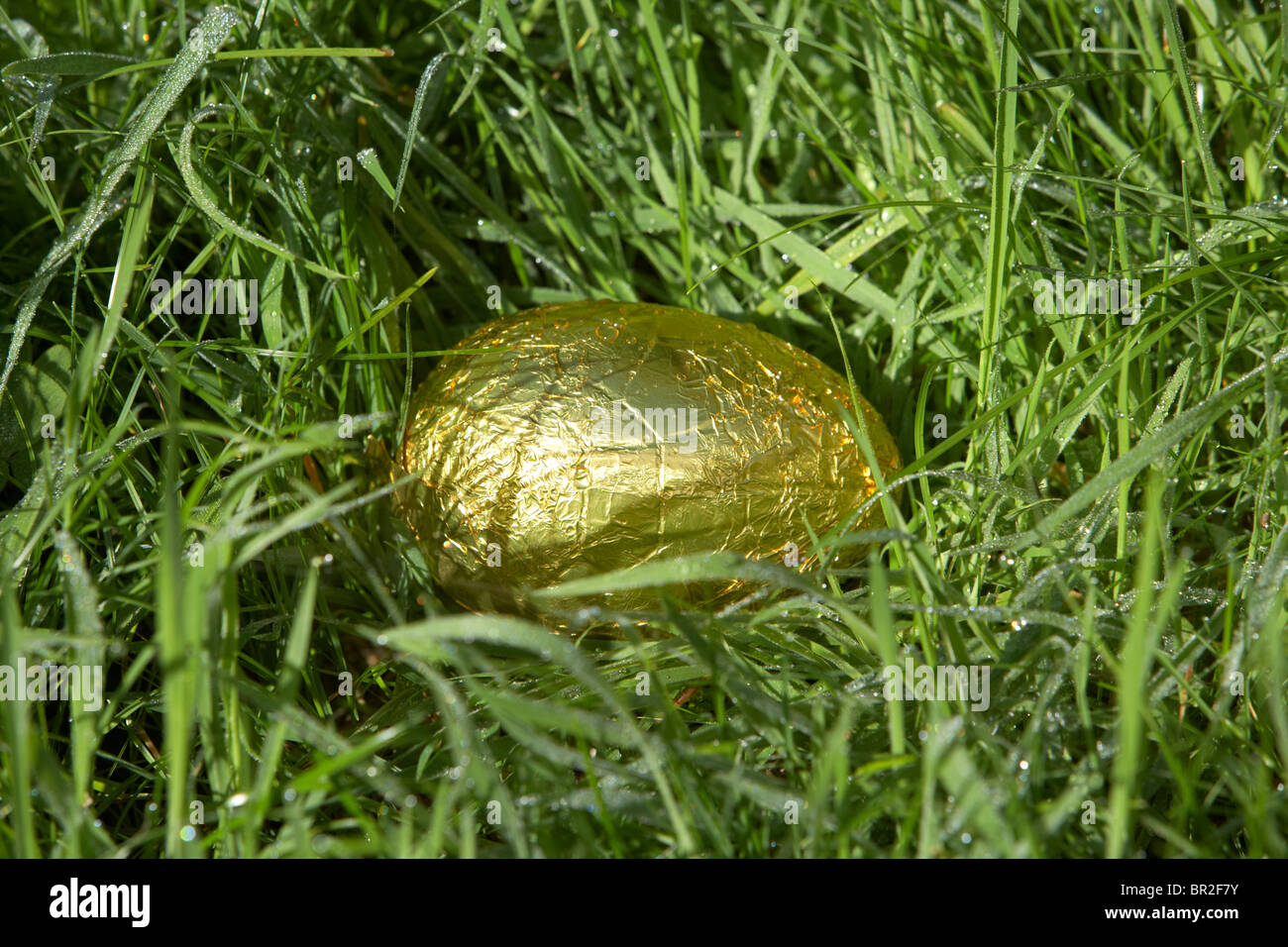 gold foil wrapped easter egg hidden in wet dew covered grass part of an easter egg hunt - Stock Image