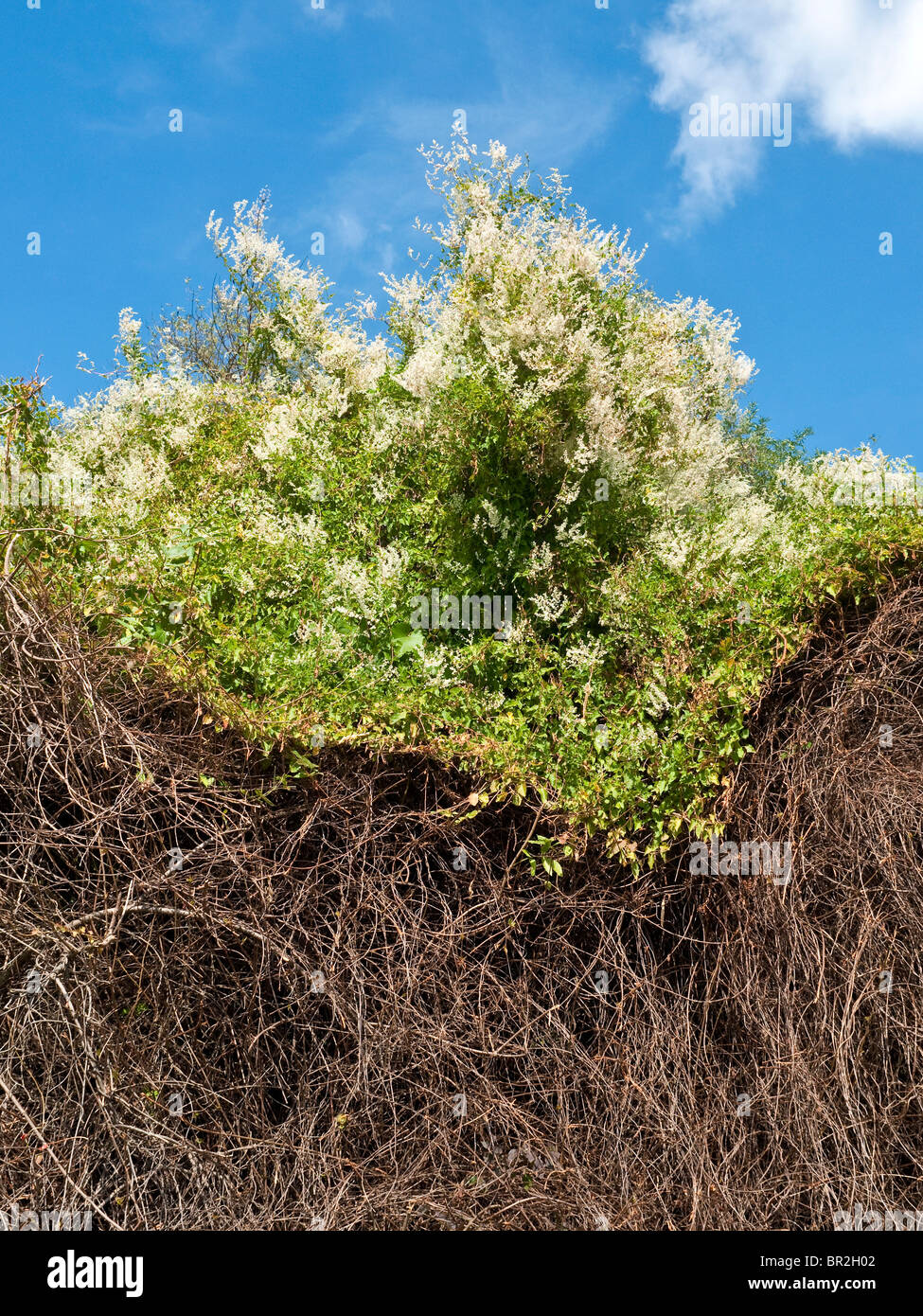 Russian vine / Fallopia baldschuanica climbing over top of dead hedgerow - France. - Stock Image