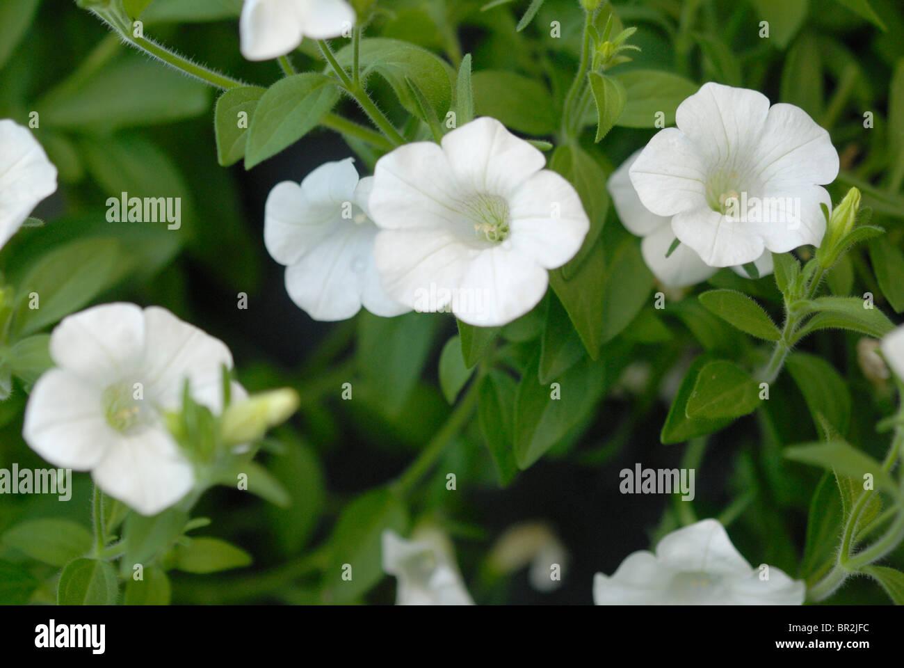 White Petunia Stock Photos White Petunia Stock Images Alamy