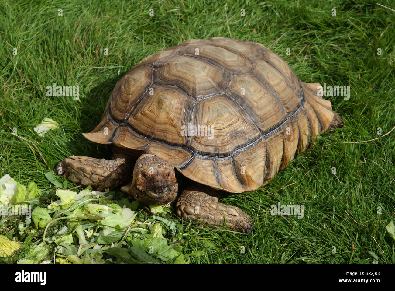 Garden Tortoise Stock Photos & Garden Tortoise Stock Images - Alamy