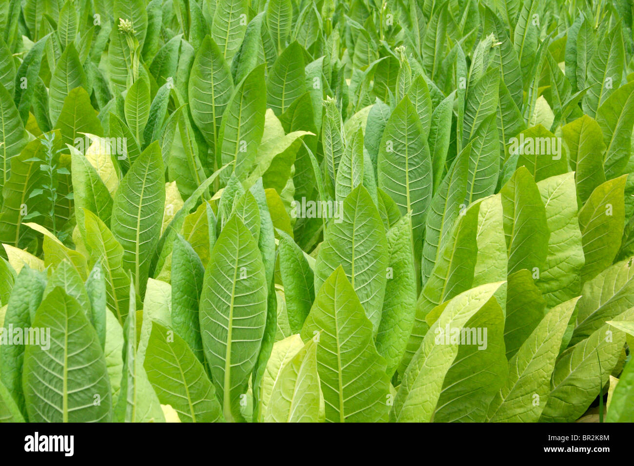 tobacco plants growing in fields Lot et Garonne france - Stock Image