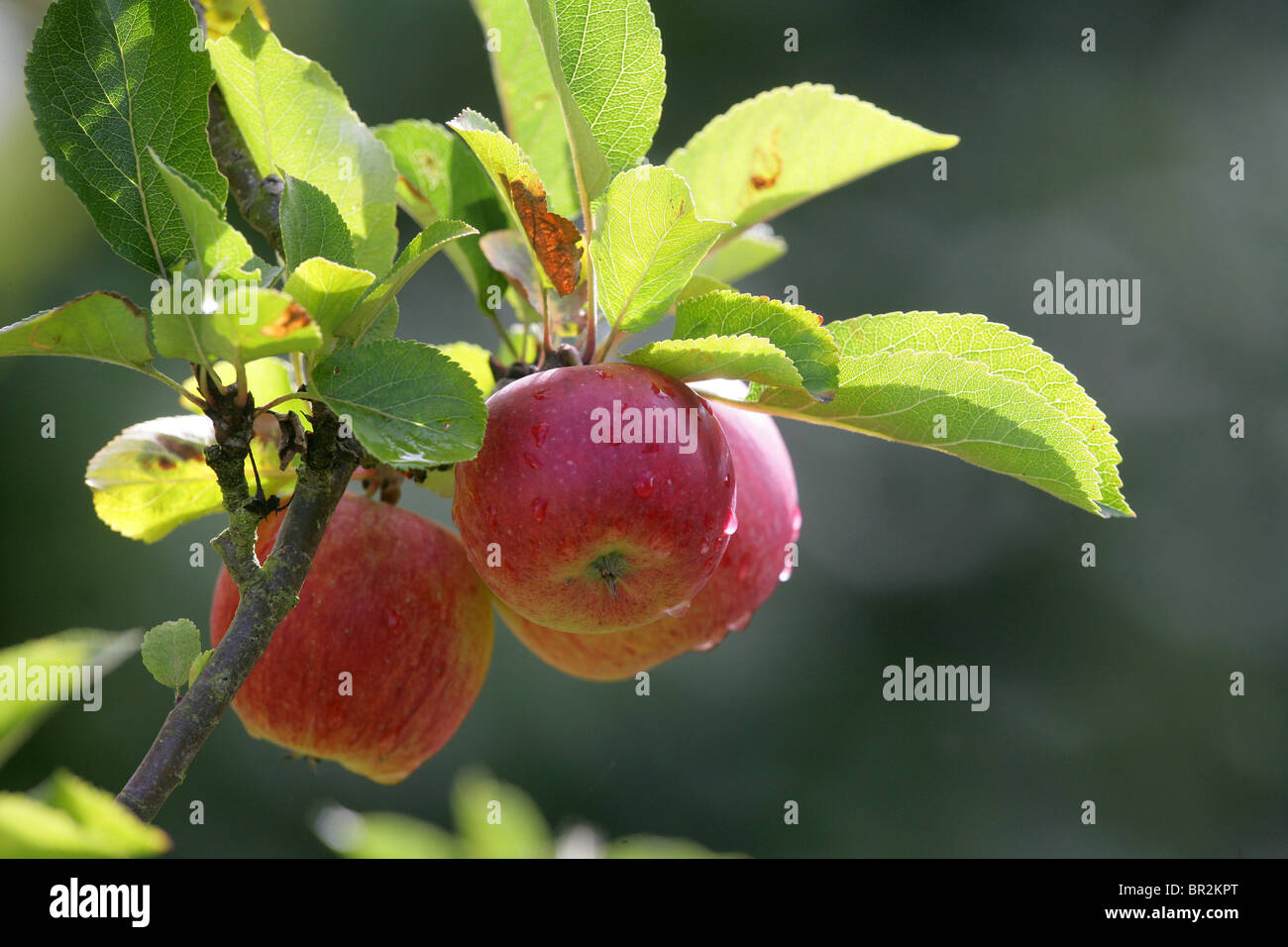 Ripe red apples with rain drops - Stock Image