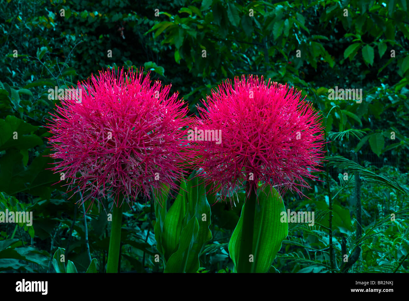 Blood Lily/Football Lily Scadoxus multiflorus, Haemanthus multiflorus - Stock Image