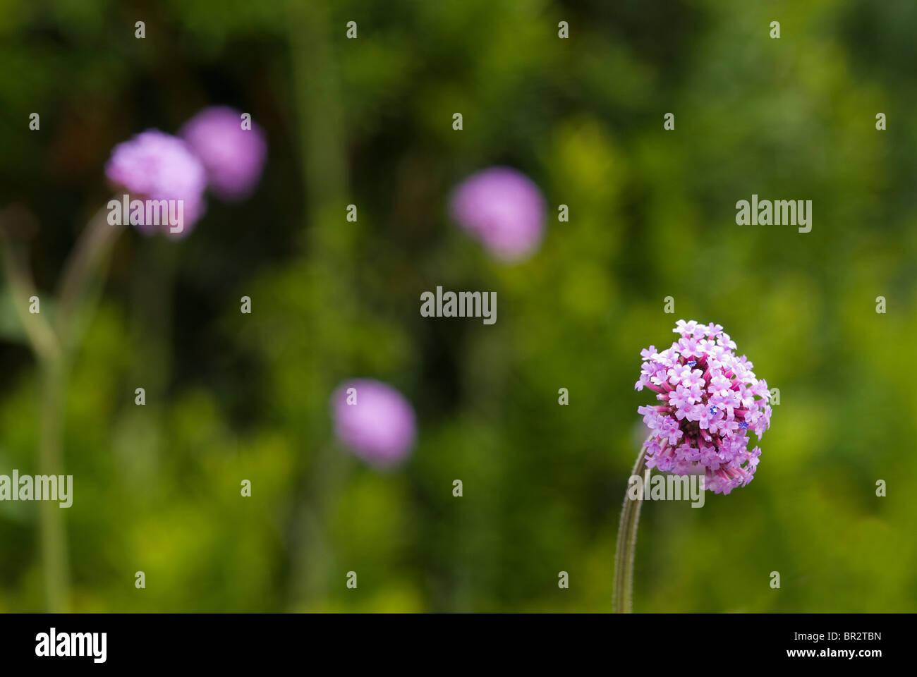 Verbena bonariensis patagonica - Stock Image