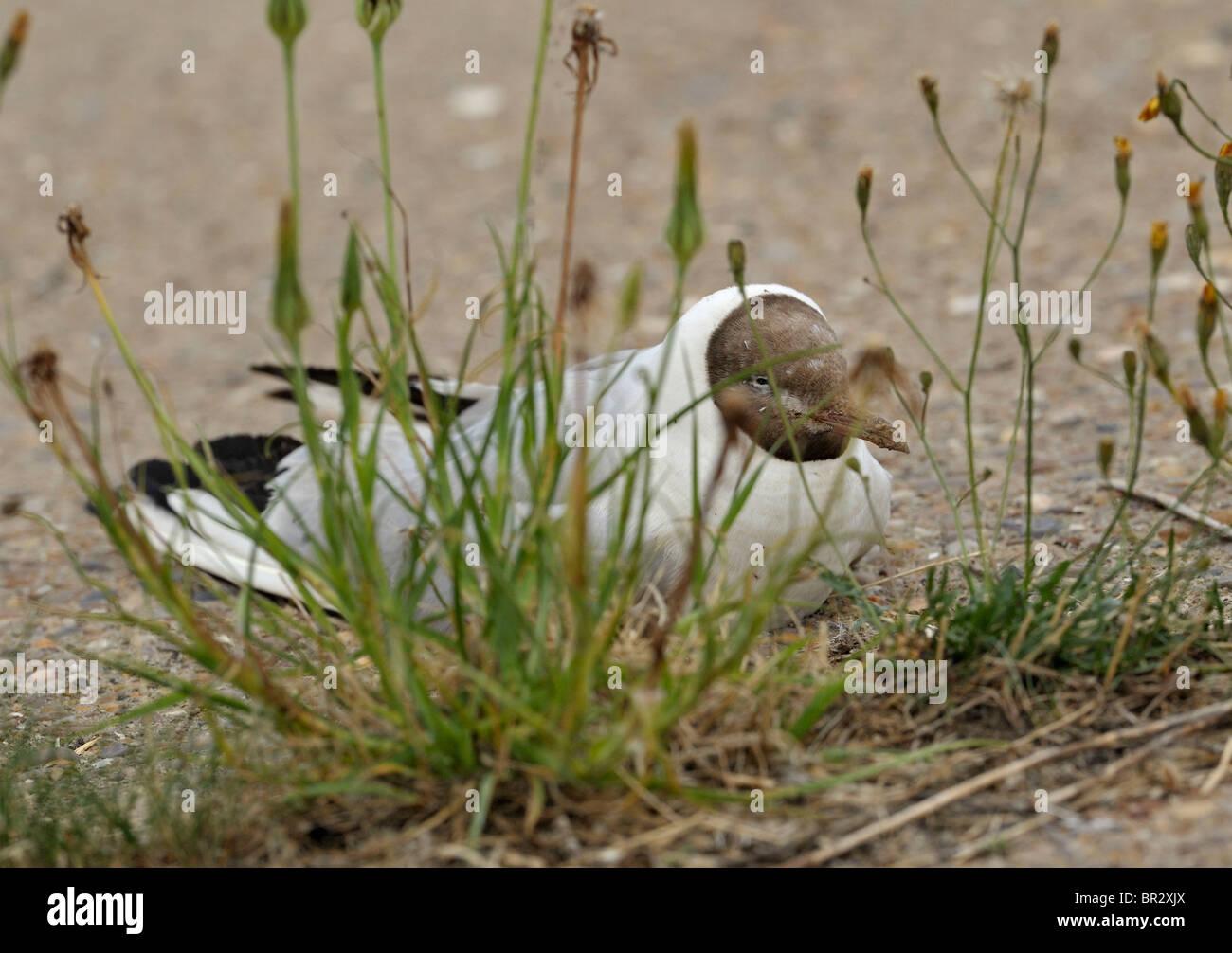 Final hours of an aged Black Headed Gull. Larus ridibundus - Stock Image