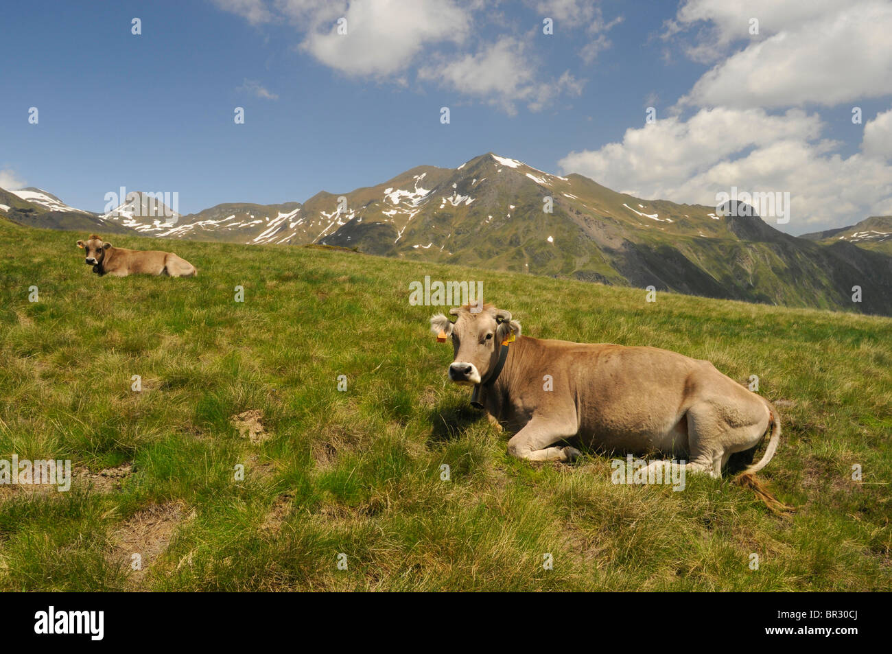 domestic cattle (Bos primigenius f. taurus), cows lying on a meadow in the Pyrenees Stock Photo