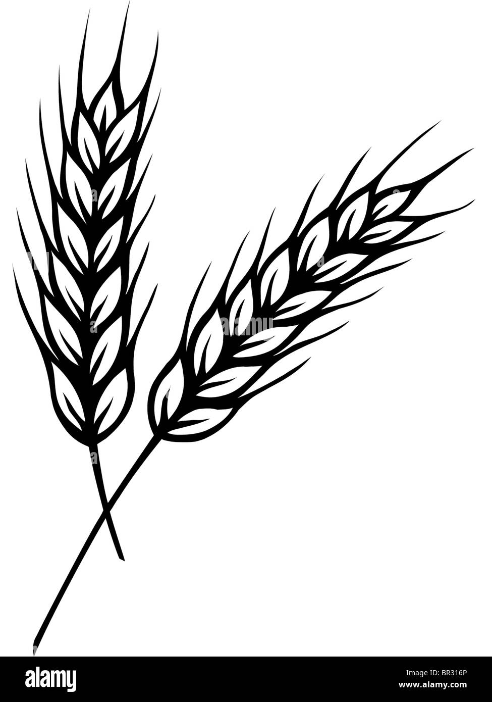 a black and white drawing of two stalks of wheat stock