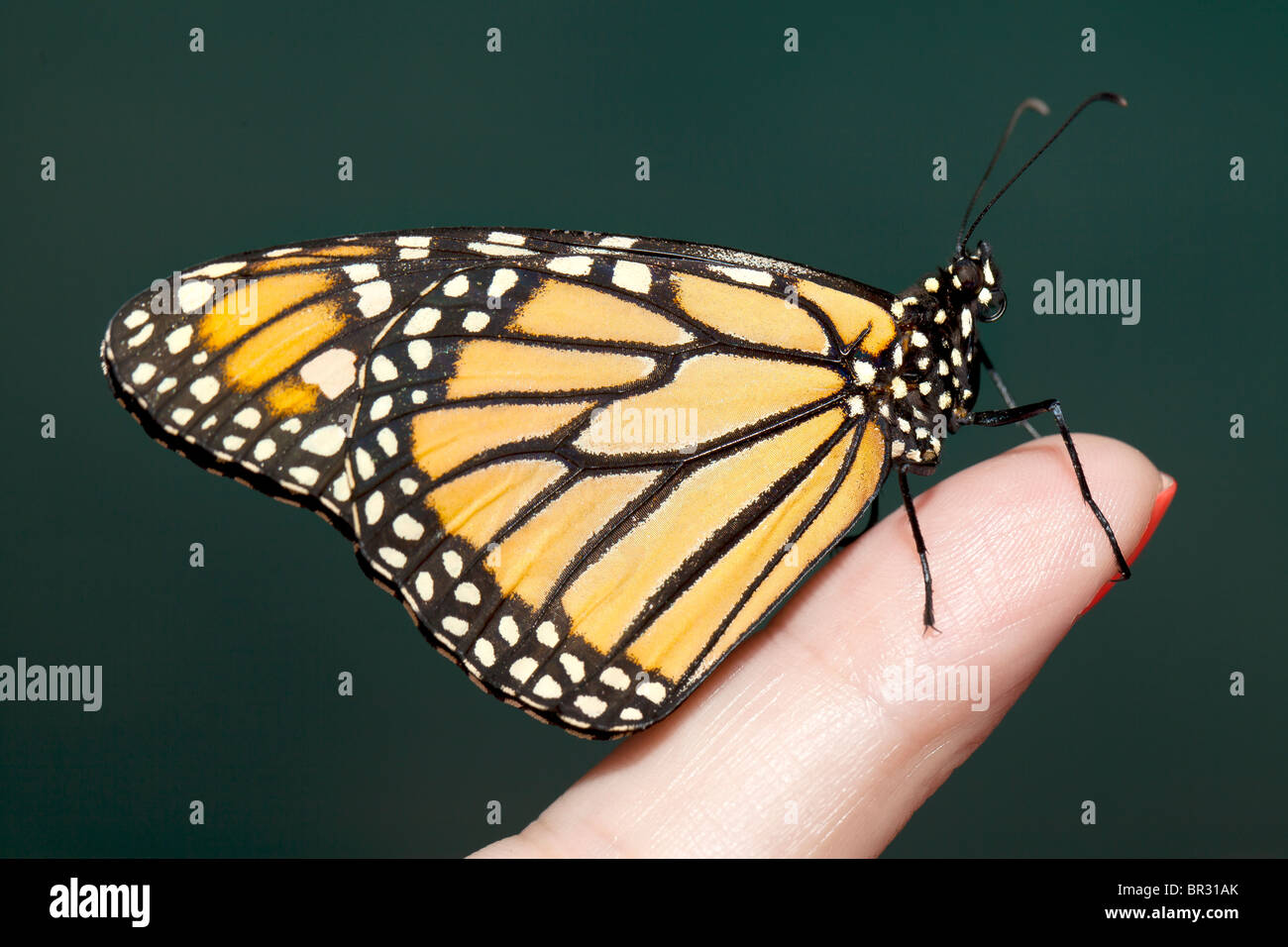 f3b372eb5 Butterfly On Finger Stock Photos & Butterfly On Finger Stock Images ...