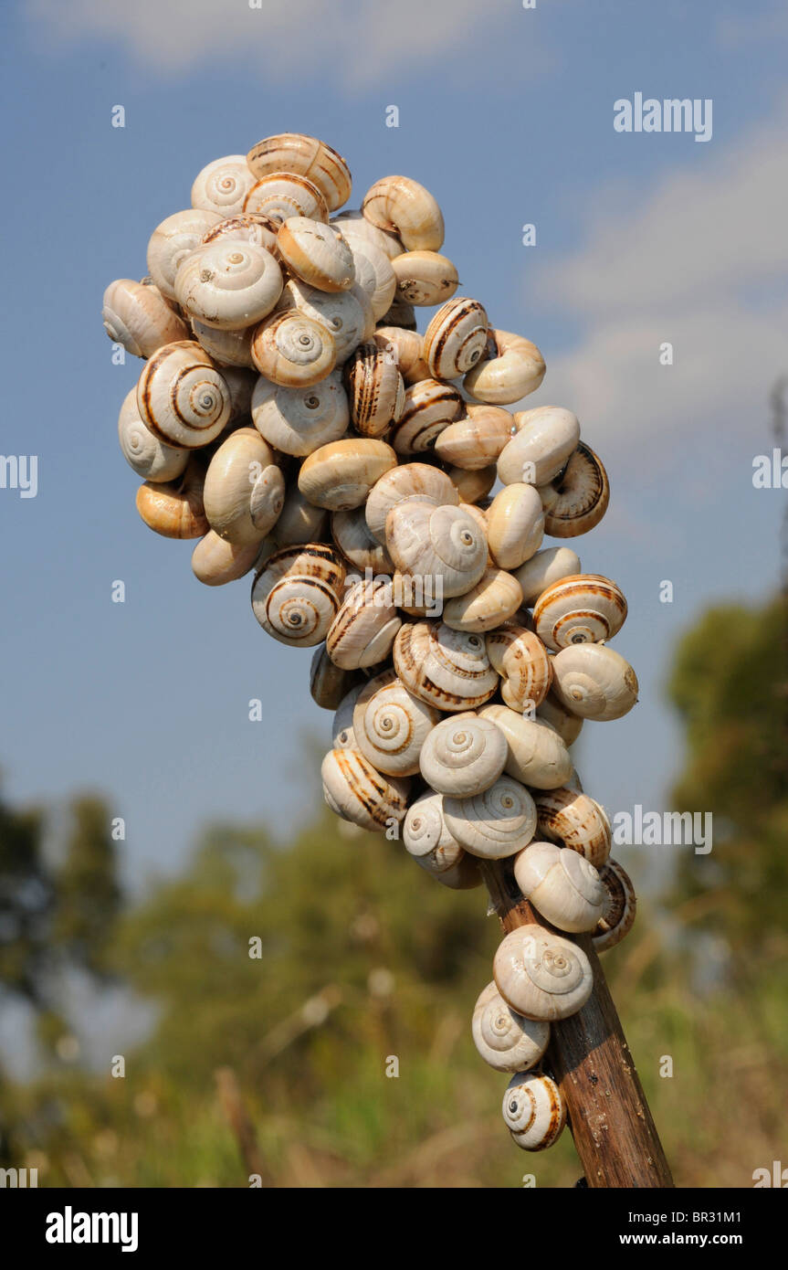 Helicidae (Helicidae), aggregation of banded snails on a stem, Greece, Peloponnes, Messinien - Stock Image