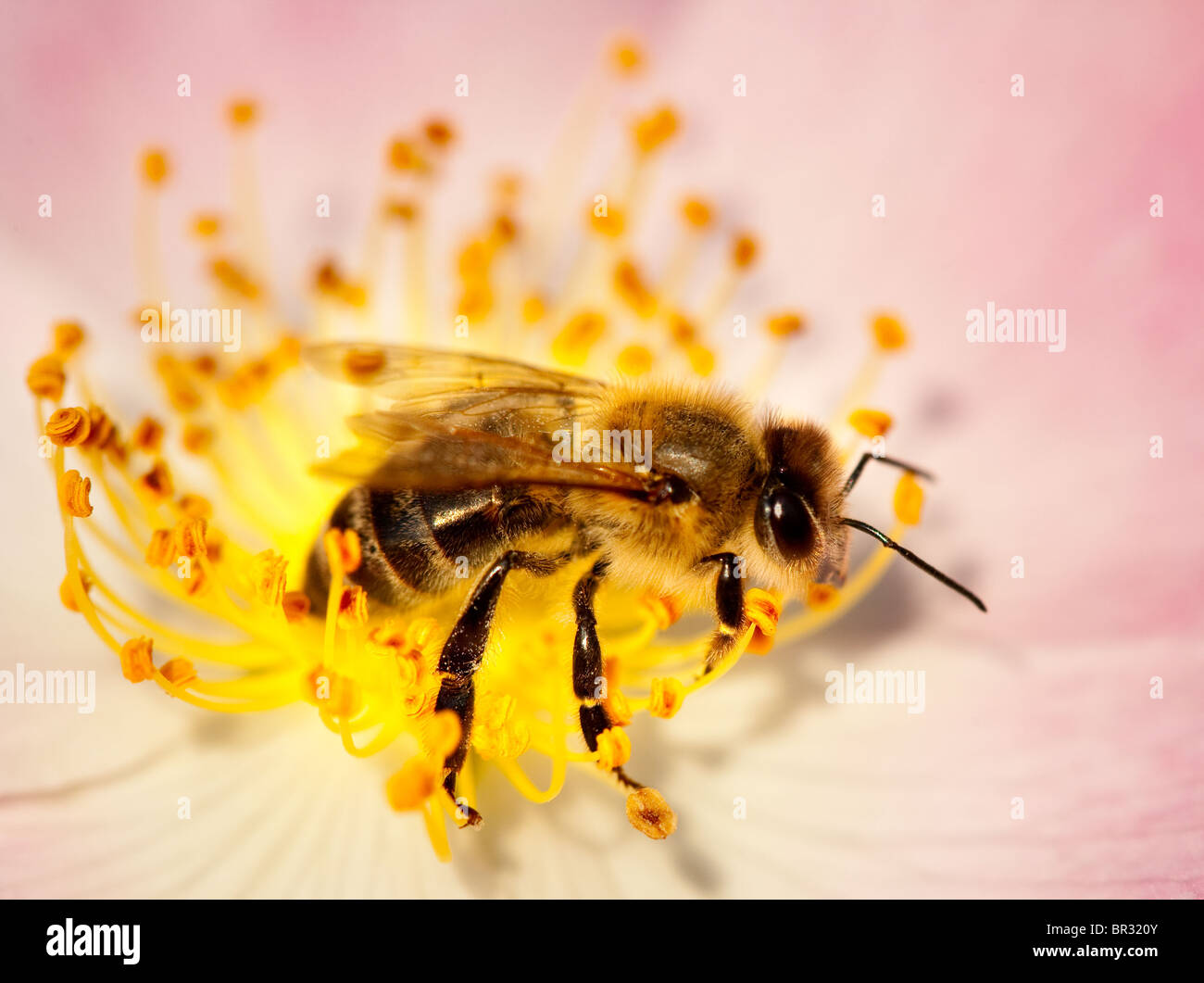 Working bee collecting pollen from a briar pink flower - Stock Image
