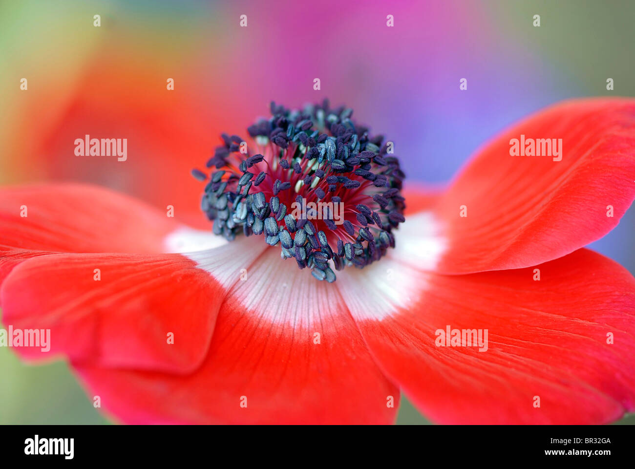 A single red & white Anemone flower head, Anemone coronaria de Caen strain - windflower - Stock Image