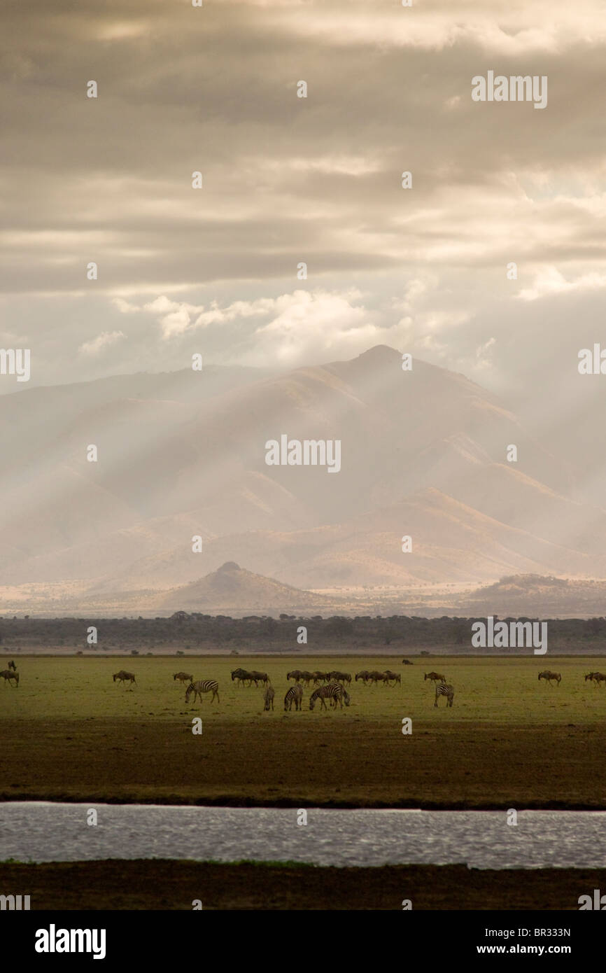 A herd of Zebra and Wildebeests in Lake Manyara National Park, Tanzania. - Stock Image