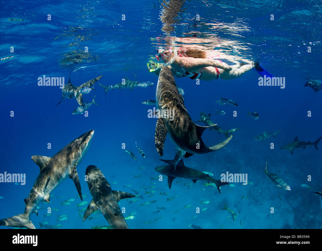 Caribbean reef shark (Carcharhinus perezi) bumps snorkeler, New Providence, Bahamas. Additional sharks circle snorkelers. - Stock Image