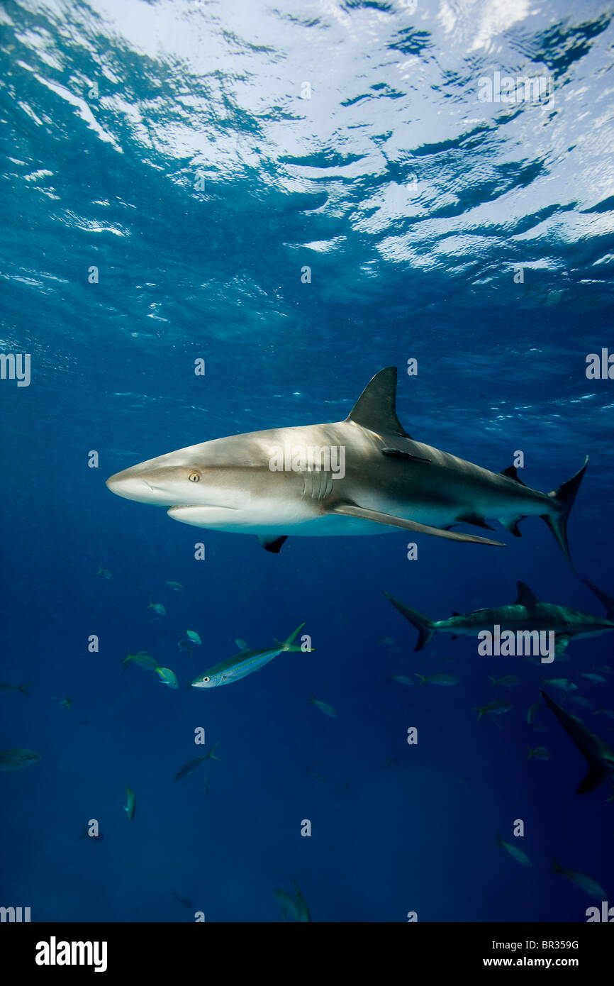 Frenzied activity involving Caribbean reef sharks (Carcharhinus perezi), New Providence, Bahamas - Stock Image
