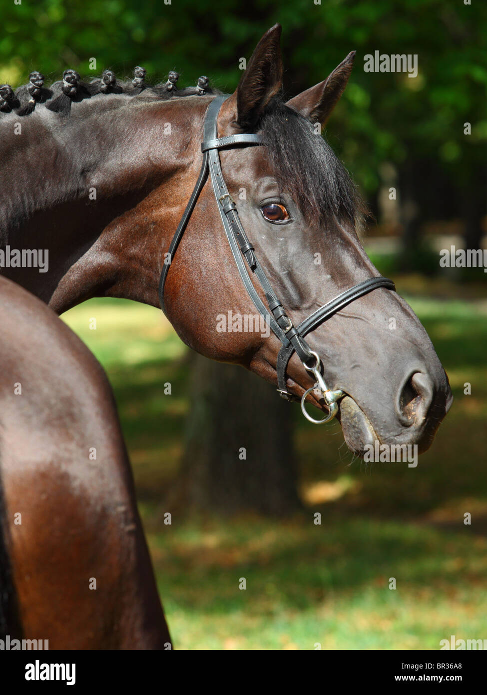 Sideview and close up of a bay horse head - Stock Image
