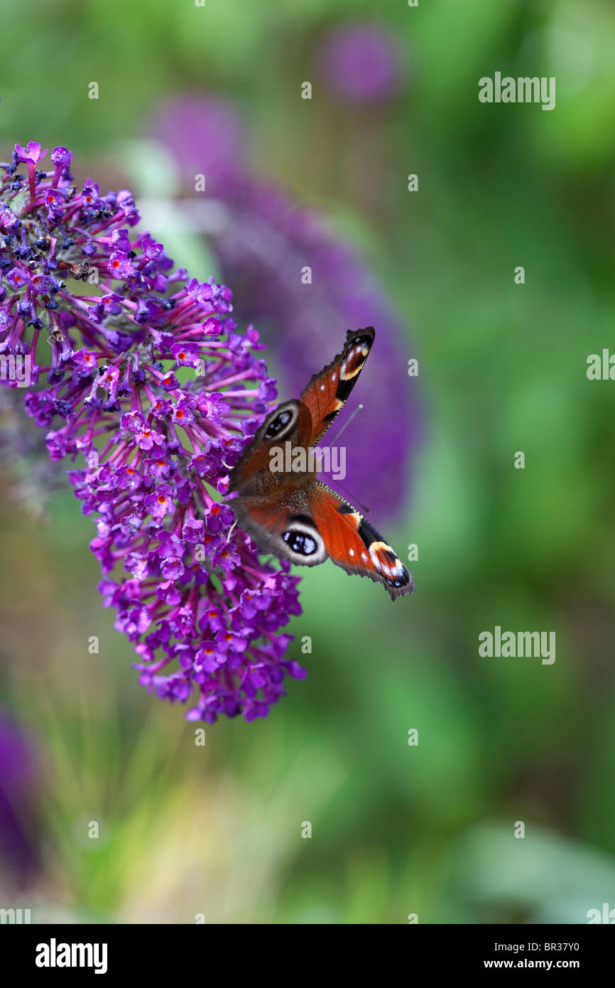 Buddleja and Peacock butterfly photographed in Yorkshire, UK - Stock Image