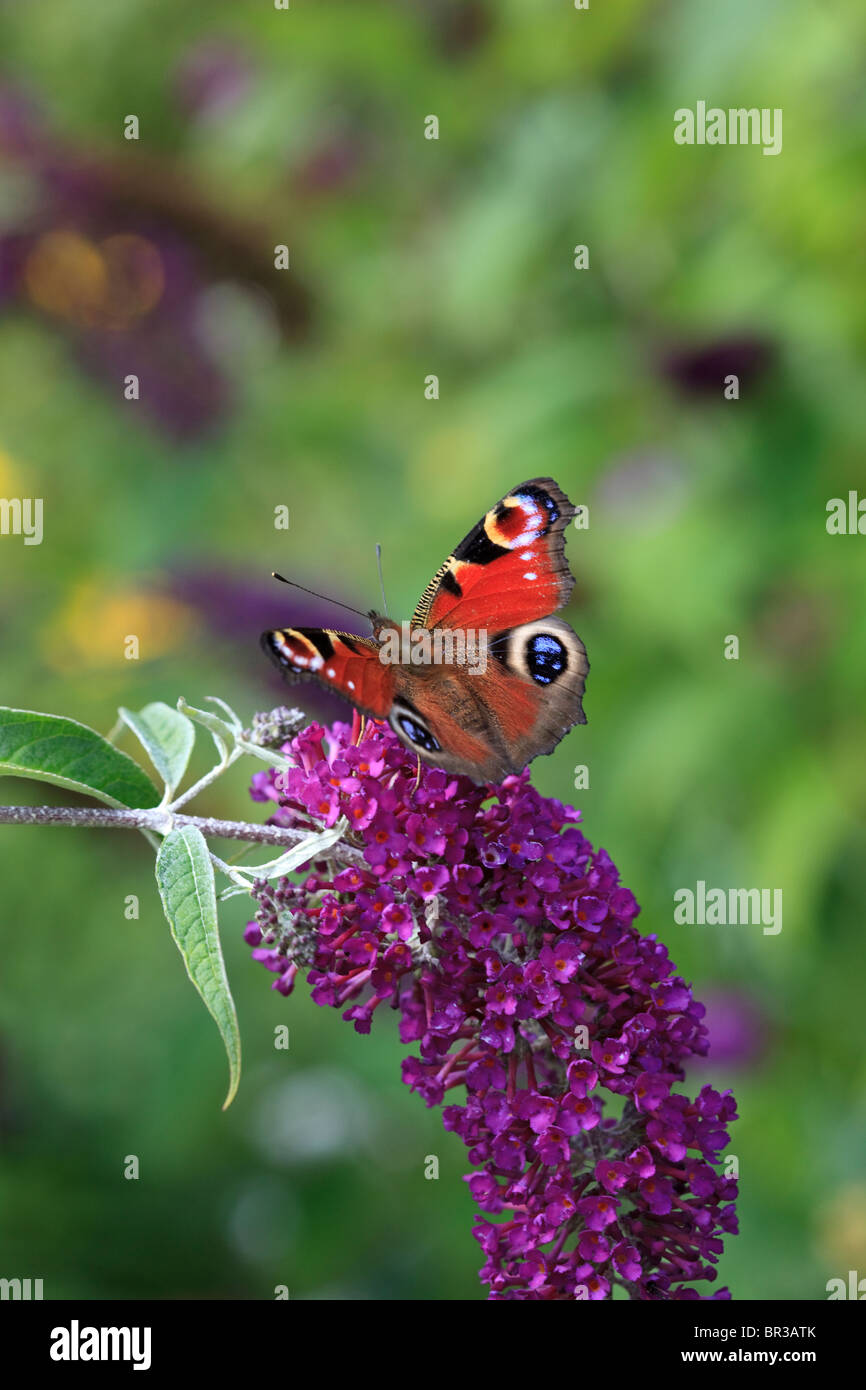 Buddleja and Peacock butterfly Stock Photo