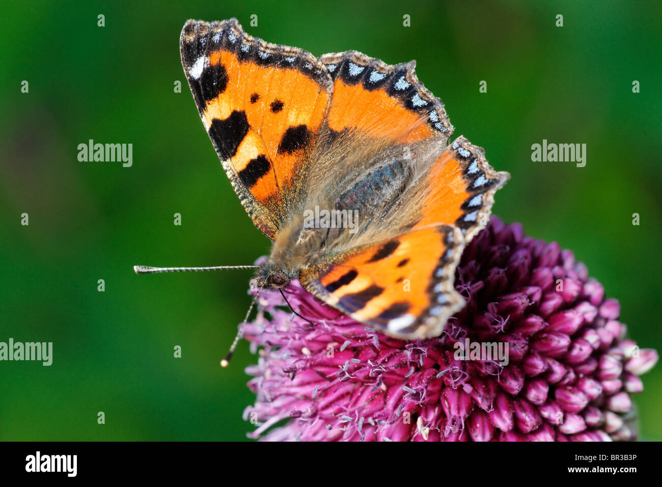 Painted Lady Butterfly on an Allium flower. - Stock Image