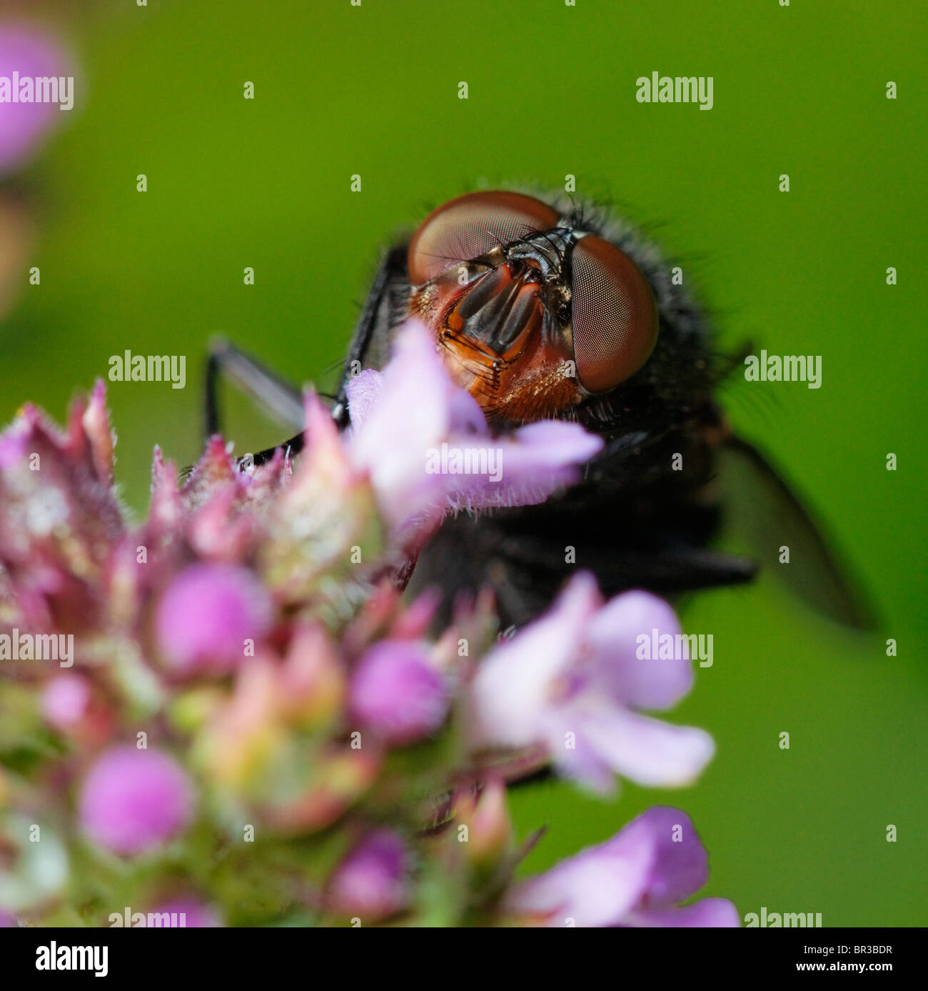 Fly feeding on a garden flower. - Stock Image