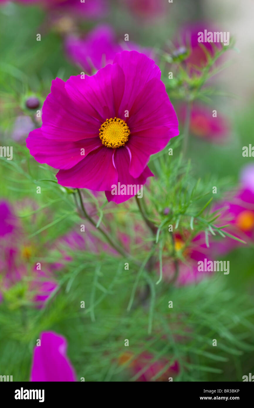 Vibrant pink Cosmos - Stock Image