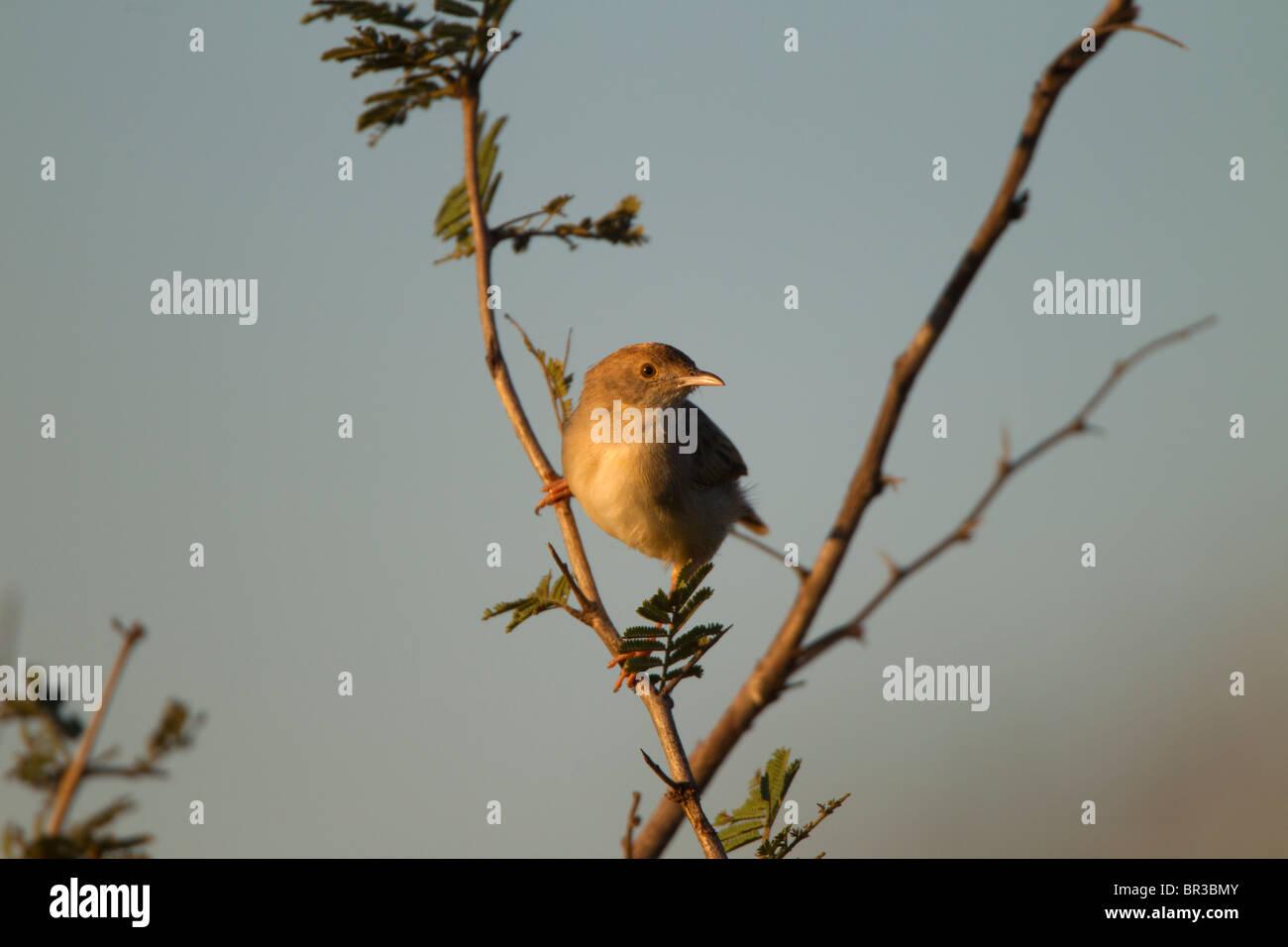 Female Cape Canary - Stock Image