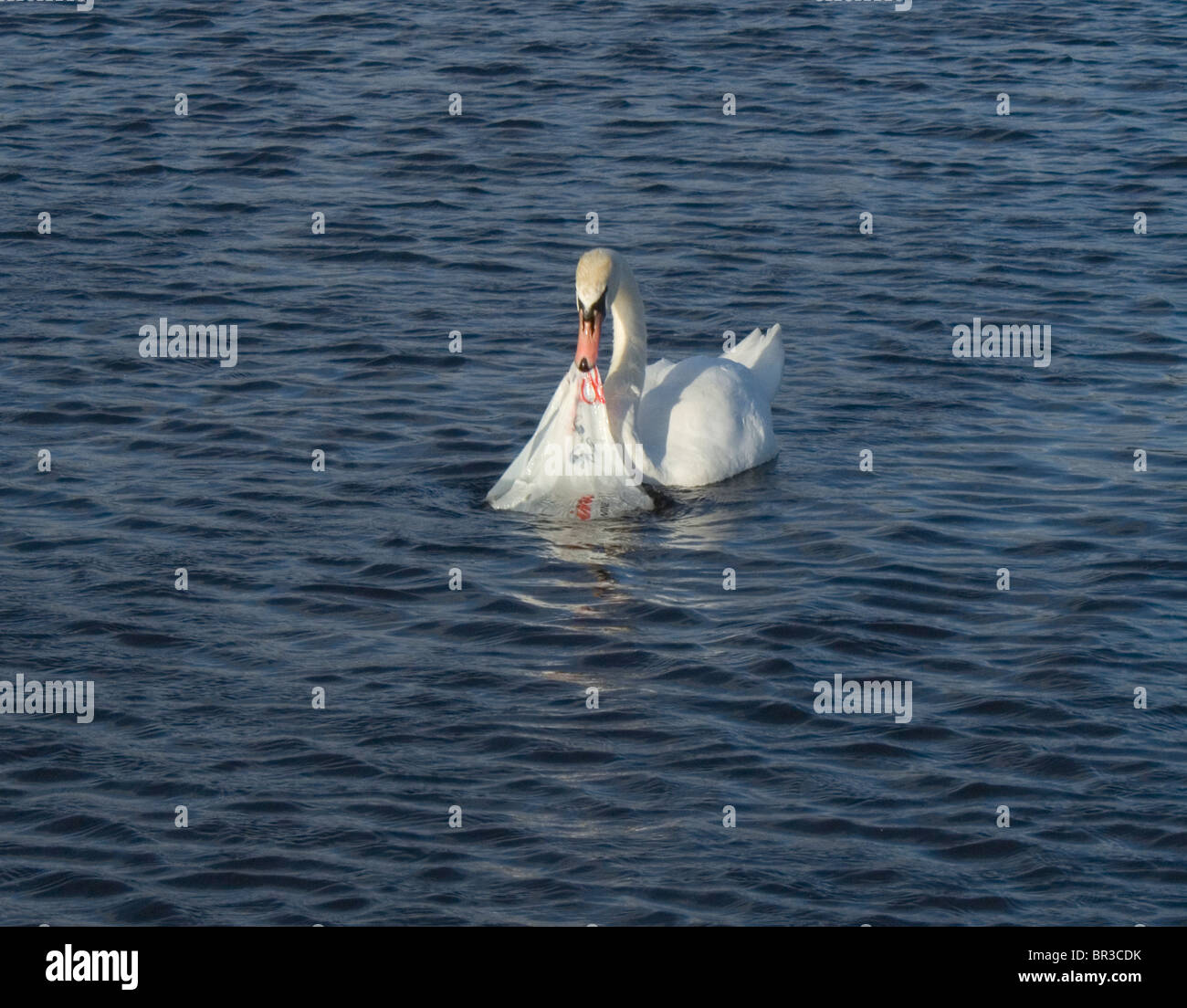 A white swan investigating a plastic supermarket bag which was floating in a pond in Hyde Park, London, England - Stock Image