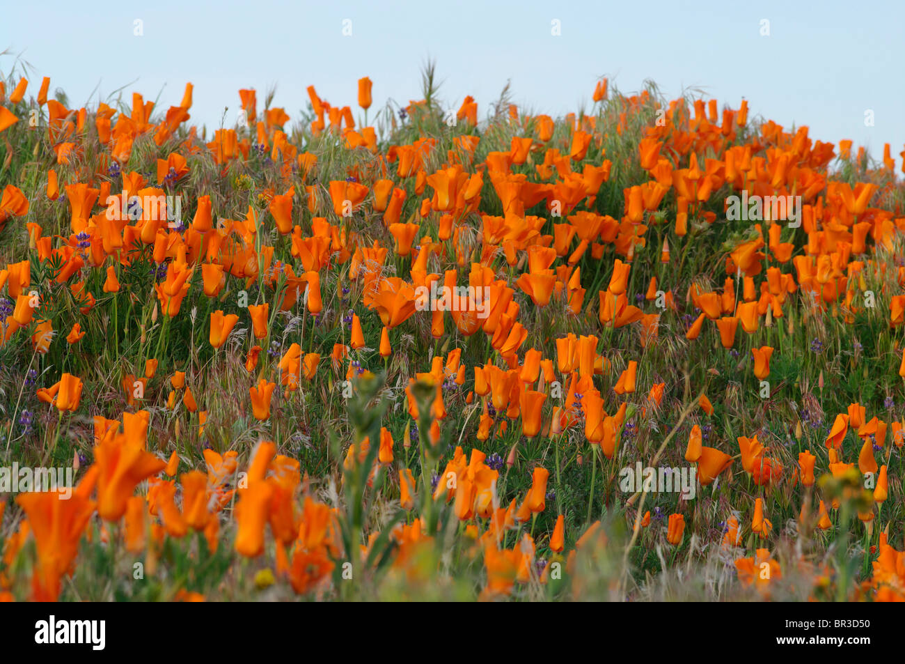 Wild poppies at the Antelope Valley California Poppy Reserve, California. - Stock Image