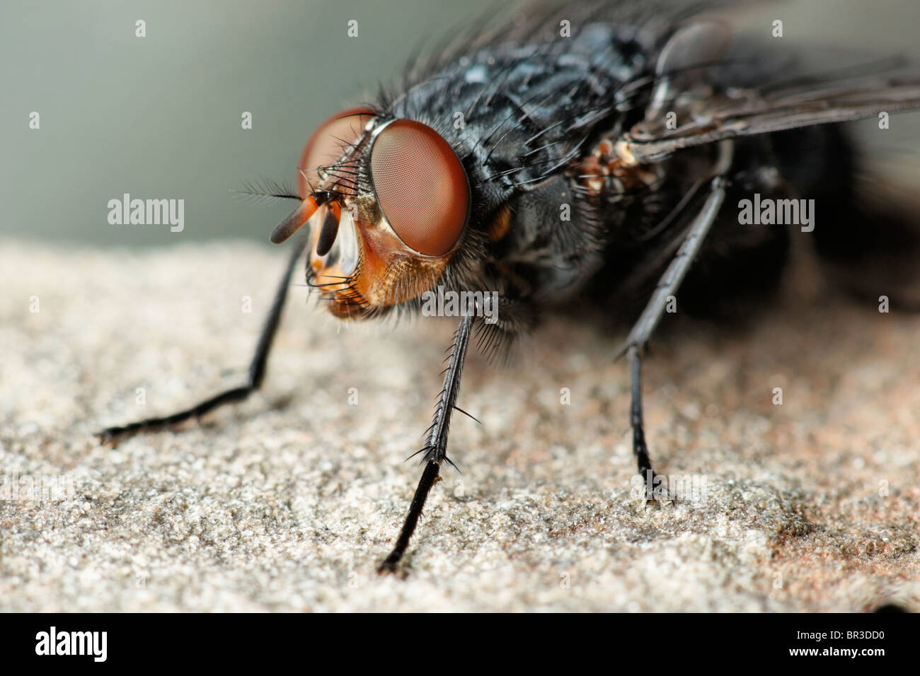 A Fly. Possibly a Common Flesh Fly, Sarcophaga carnaria Stock Photo