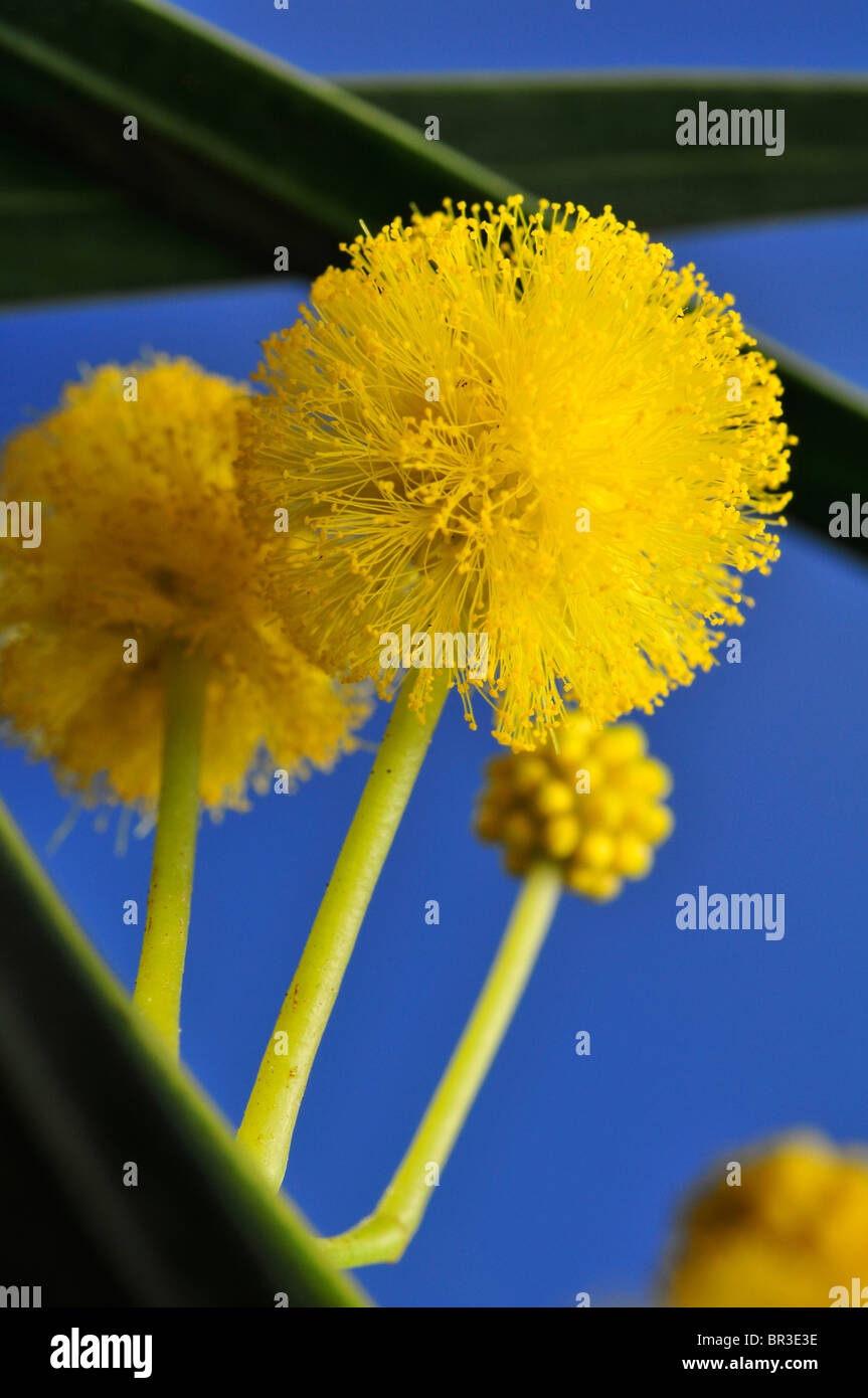 Yellow Acacia Flower Acacia Saligna Stock Photo 31424386 Alamy