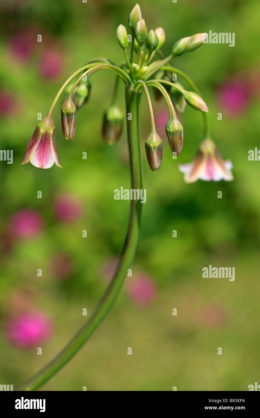 Nectaroscordum Siculum - Stock Image