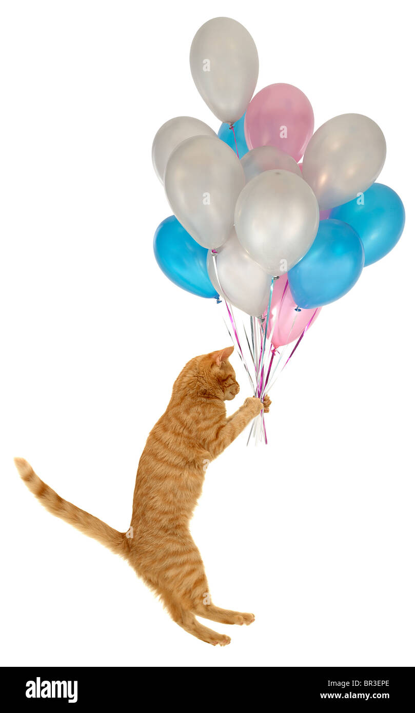 Flying Balloon Cat A Cat Is Holding Many Balloons Taken On Clean Stock Photo Alamy