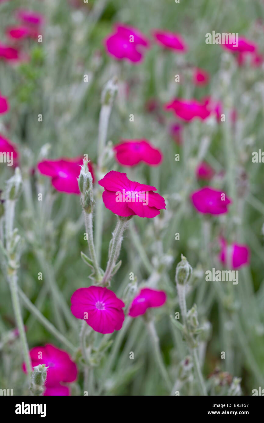 Bright Pink flowers and silvery foliage of Lychnis coronaria; Rose Campion, Dusty miller - Stock Image