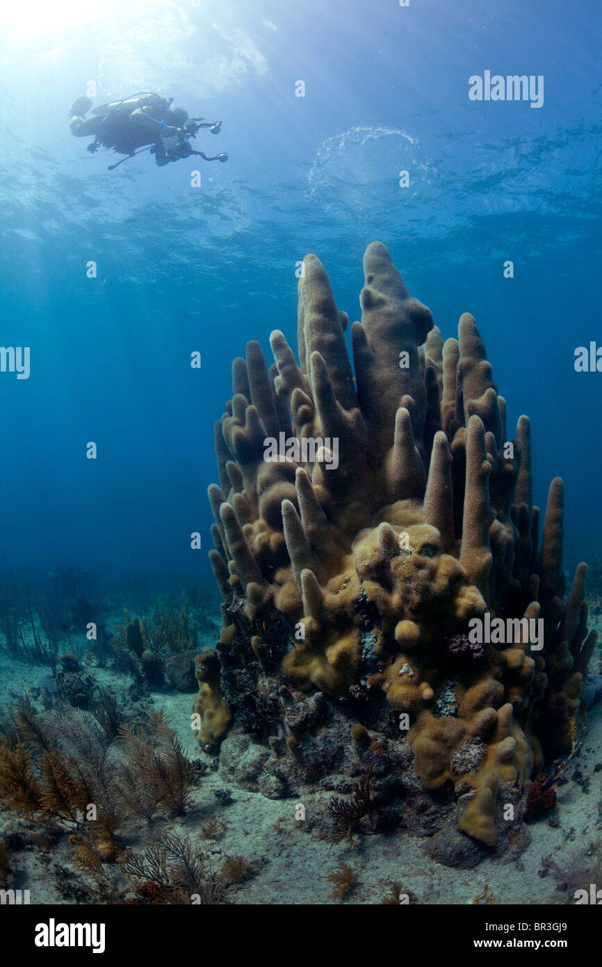 A scuba diver photographs a stand of coral in Cuba - Stock Image