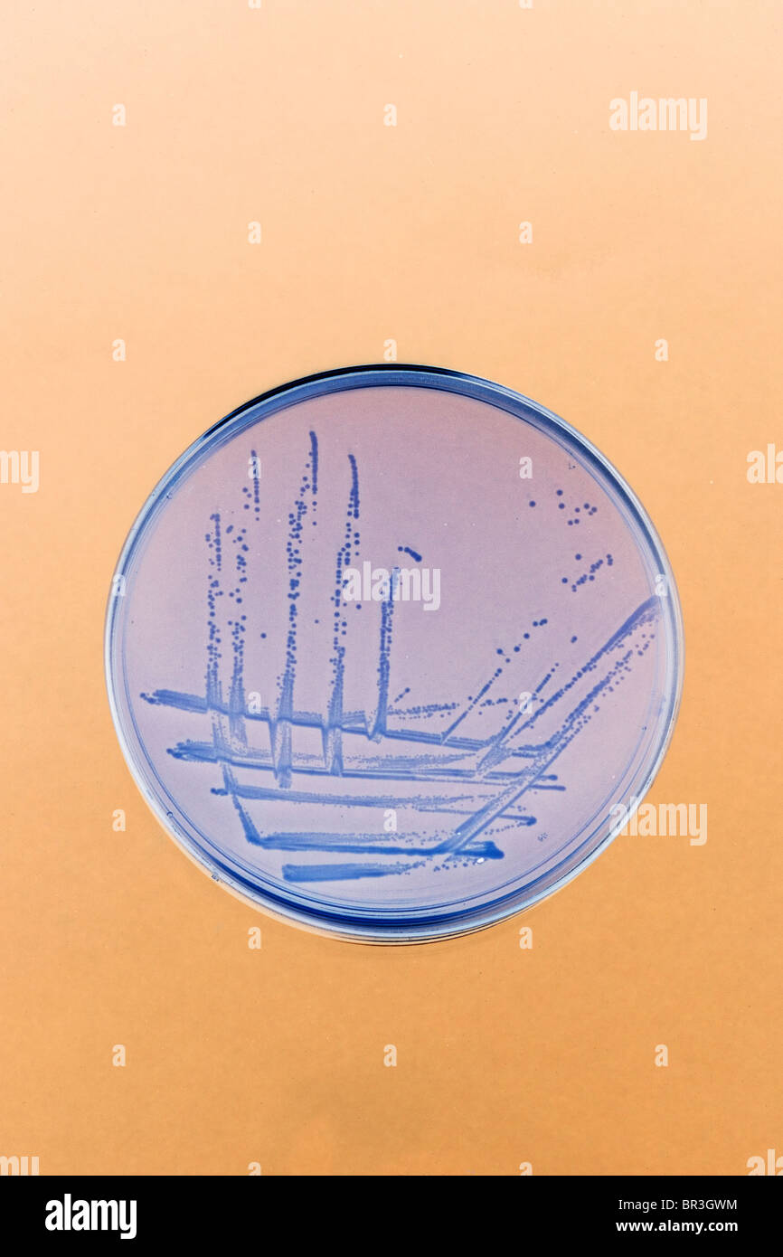 bacteria streaked and grows on an agar plate in the lab - Stock Image