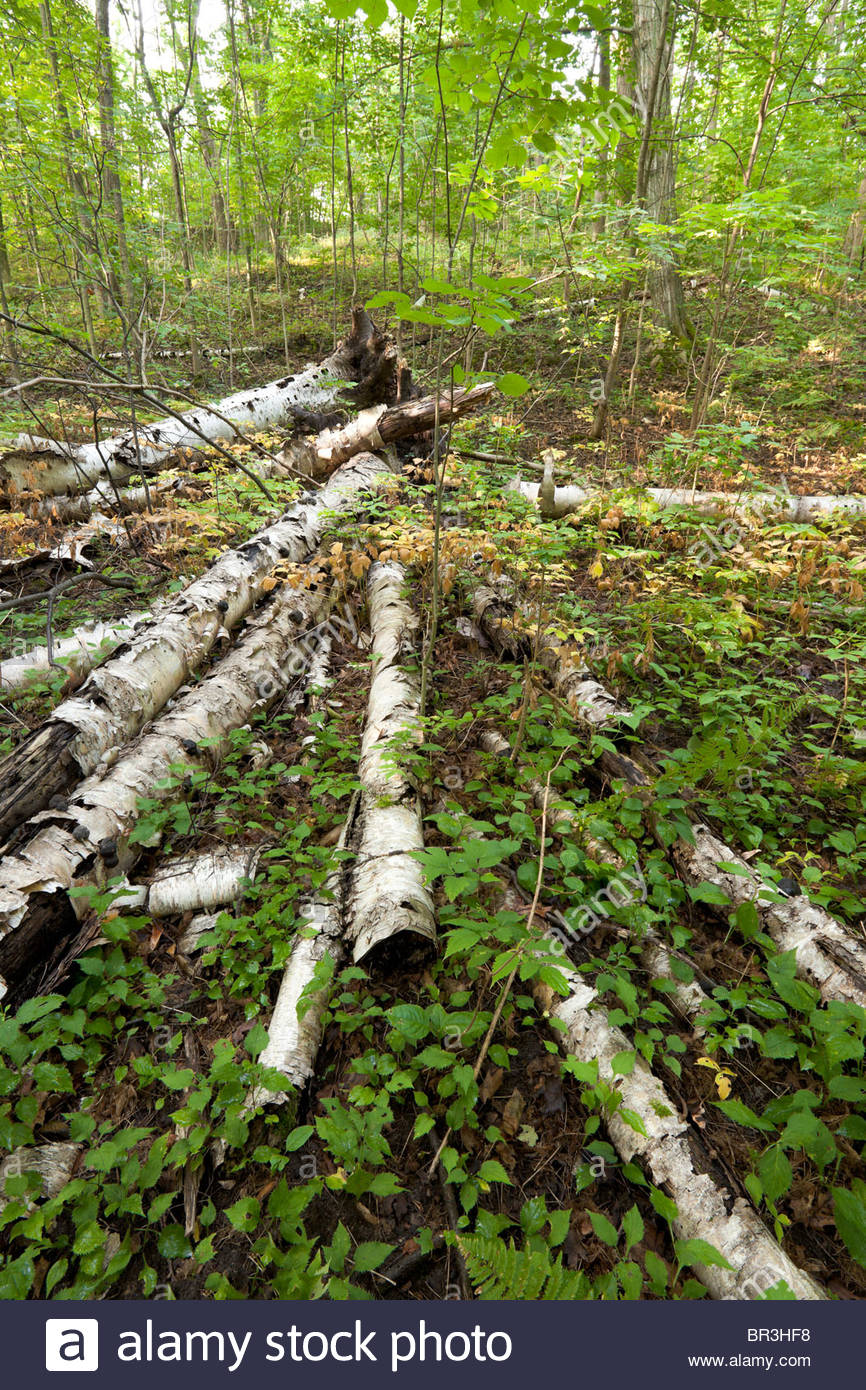 Fallen trees course woody debris in the Carolinian Forest of Rouge Park an urban wilderness in Toronto Ontario Canada - Stock Image