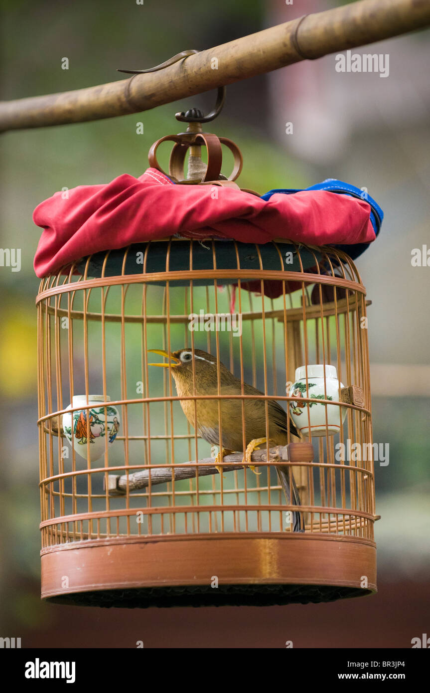 Chinese Hwamei song bird sings in cage hanging in Wenshu Temple gardens, Chengdu, Sichuan Province, China - Stock Image